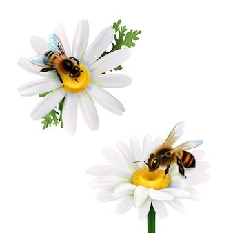Miel de abejas sentado en flores de margarita