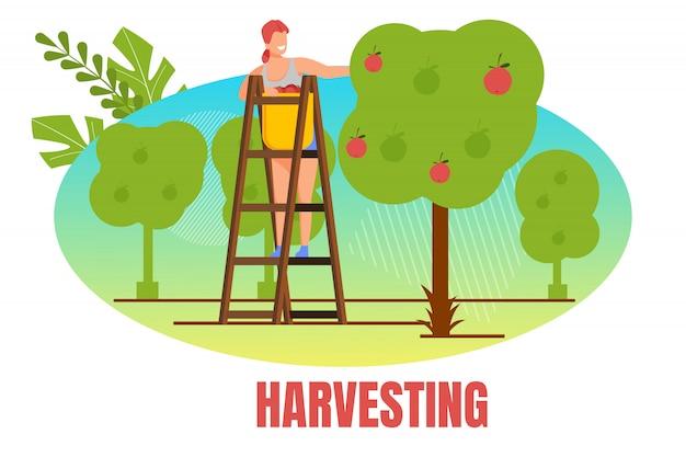 Mujer agricultora stand en escalera pick apple harvest