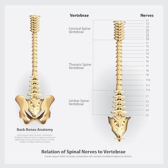 Nervios espinales y segmentos de vértebras y raíces