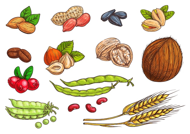 Nueces, cereales, granos y bayas. iconos de dibujo aislado de trigo, almendra, granos de café, vaina de guisante, frijol