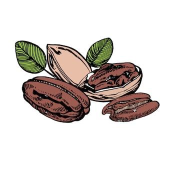 Nueces pecanas y hojas ilustración dibujada a mano