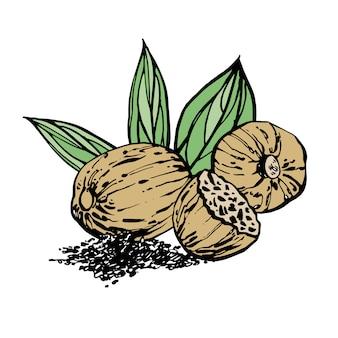 Nuez moscada y hojas dibujadas a mano ilustración