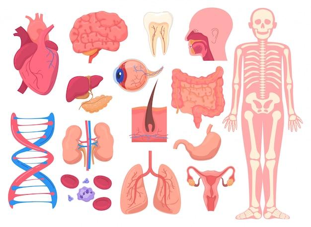 Órganos de anatomía del cuerpo humano, ilustración médica