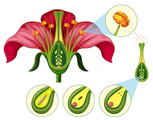 Órganos florales y piezas de reproducción