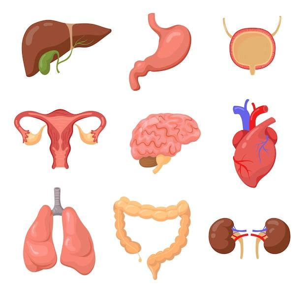 Órganos humanos en blanco