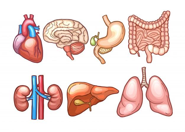 Órganos humanos en estilo de dibujos animados