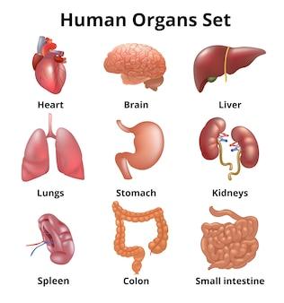 Órganos humanos realistas establecen anatomía