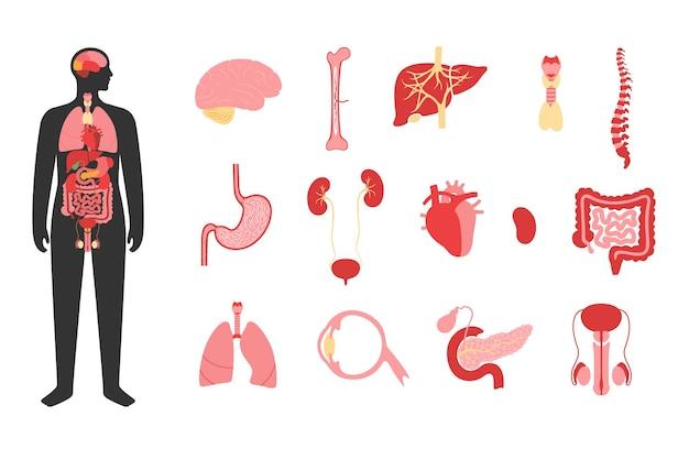 Órganos internos en el cuerpo del hombre. cerebro, estómago, corazón, riñón, testículos y otros órganos