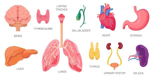 Órganos internos. partes del cuerpo anatómico humano, cerebro, estómago, riñón y bazo. sistema urinario de dibujos animados, corazón y pulmones. conjunto de vectores de órganos. ilustración anatomía medicina interna, vejiga e hígado