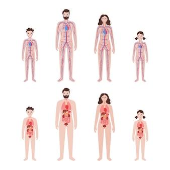 Órganos internos, sistema circulatorio arterial y venoso en el cuerpo humano.