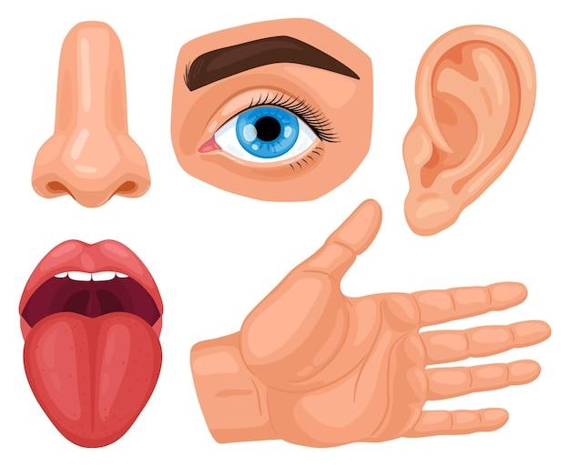 Órganos sensoriales humanos de dibujos animados. anatomía de los sentidos humanos, tacto de la piel, audición, visión de los ojos, gusto, lengua y olfato.