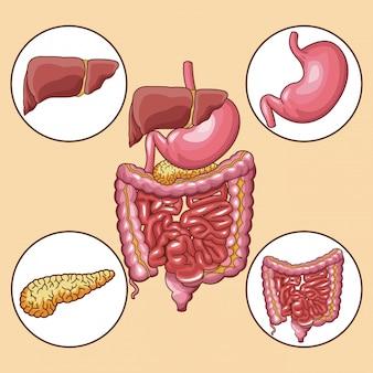 Órganos del sistema digestivo alrededor de los iconos