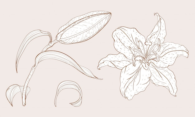 Oriental lily yema y flor