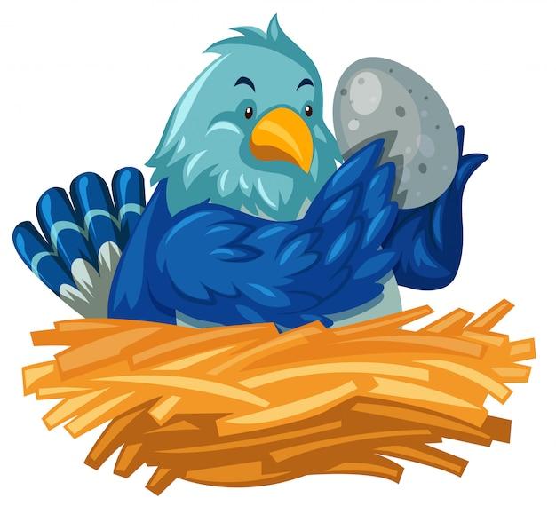 Pájaro azul para incubar huevo en el nido