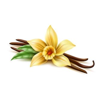 Palos de frijol seco de vector realista flor de vainilla