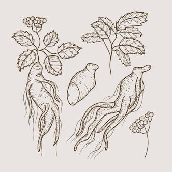 Paquete de planta de ginseng realista dibujado a mano