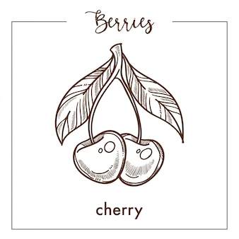 Pareja de cerezas con hojas monocromáticas bayas, boceto sepia.