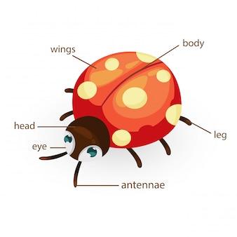 Parte del cuerpo de vocabulario de mariquita