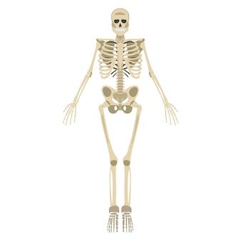 Parte delantera del esqueleto humano aislado