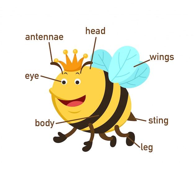 Parte del vocabulario de la abeja de body.vector