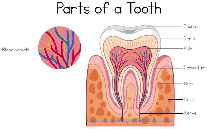 Partes de un diagrama de diente