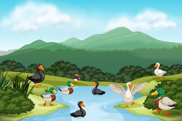 Patos en la escena del estanque
