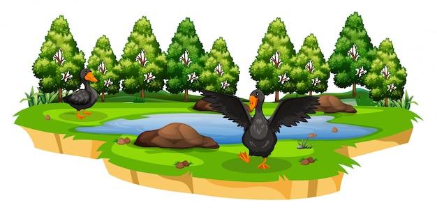 Patos en la escena de la naturaleza del estanque