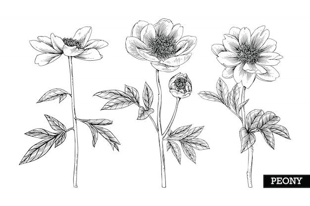 Peonía de hojas y dibujos de flores.
