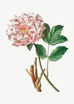 Peonía rosa moutan
