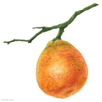 Pequeña mandarina en la rama