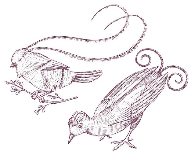 Pequeñas aves del paraíso en indonesia y australia. wilson y rey de sajonia en nueva guinea. iconos exóticos de animales tropicales. uso para bodas, fiestas. grabado dibujado a mano en boceto antiguo.