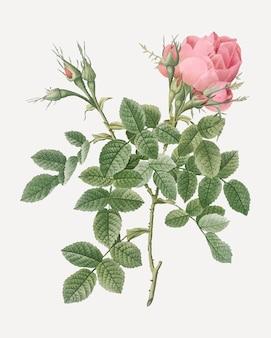 Pequeño damasco rosa