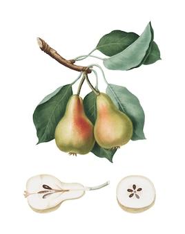 Pera de la ilustración de pomona italiana.