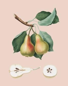 Pera de la ilustración de pomona italiana