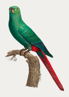 Periquito austral