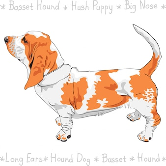 Perro basset hound raza