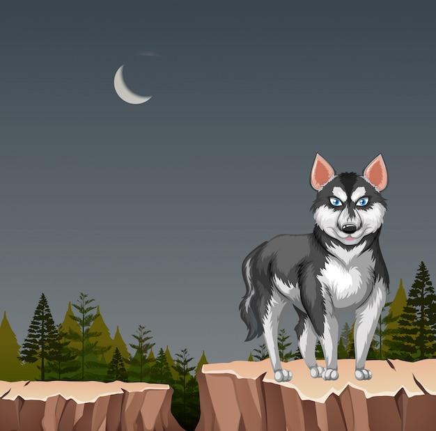 Perro lobo husky en acantilado en la noche