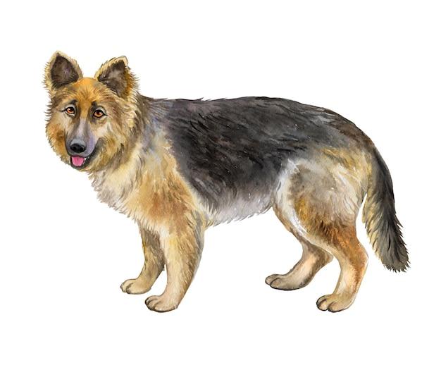 Perro pastor alemán aislado sobre un fondo blanco. acuarela. ilustración. modelo. imagen. clipart