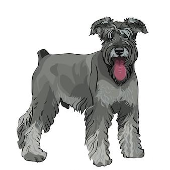Perro schnauzer miniatura con su lengua colgando