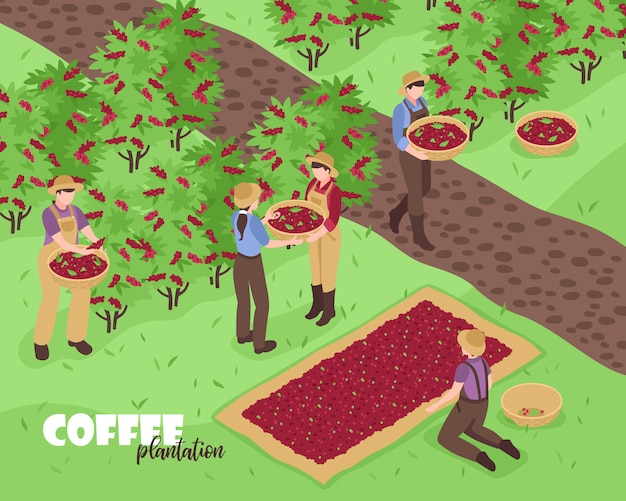 Personas recolectando granos de café en plantación isométrica 3d