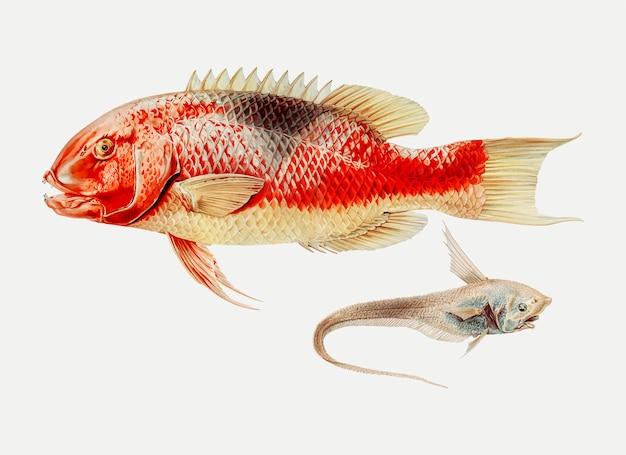 Pez cerdo y un pez aleta raya
