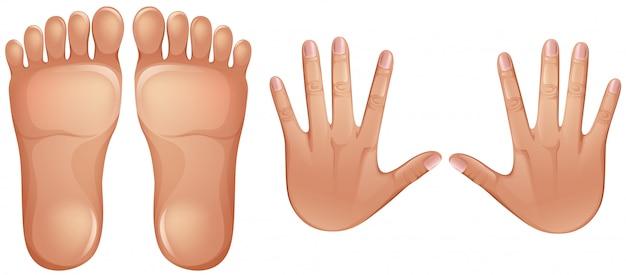 Pies y manos de anatomía humana