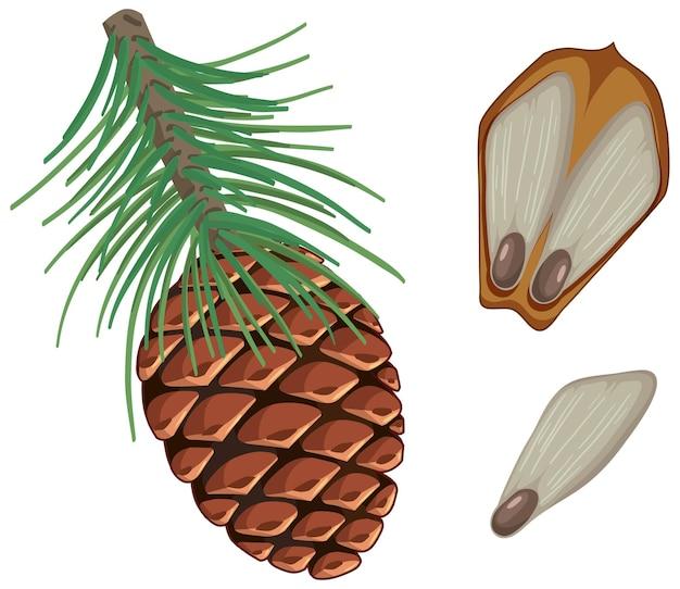 Piña con agujas de pino aislado