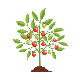 Planta de etapa de crecimiento de tomate. tomate rojo. etapa de fructificación.