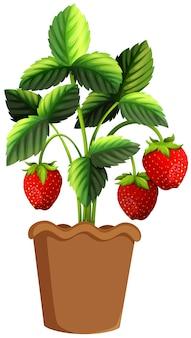 Planta de fresa en cazuela de barro