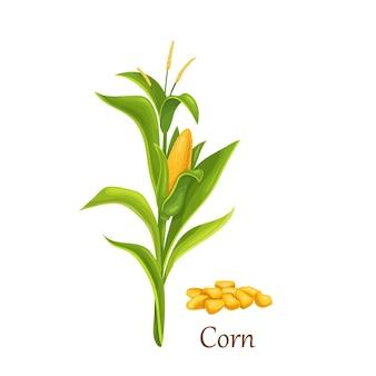 Planta de maíz con mazorcas y flores.
