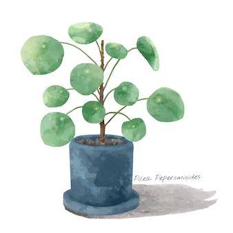 Planta de peperomioides de pilea aislada en el fondo whtie