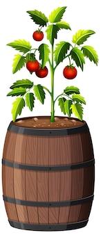 Planta de tomates en maceta de madera aislado sobre fondo blanco.