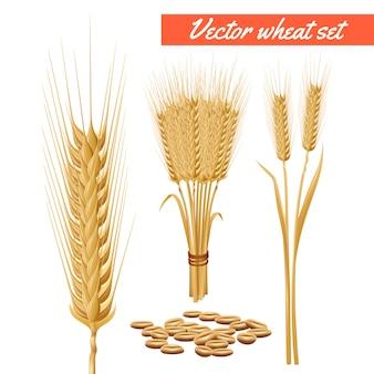 Planta de trigo maduro cosecha cabezas y grano decorativos y beneficios de salud cartel publicitario
