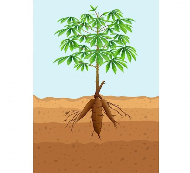 Planta de yuca con raíces
